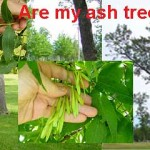 I am concerned about my ash trees